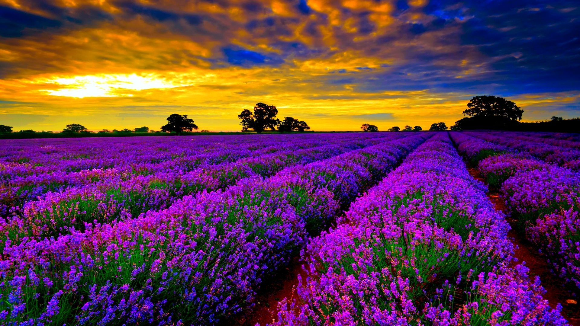 HD Most Beautiful Field Of Lavender Flowers Widescreen High