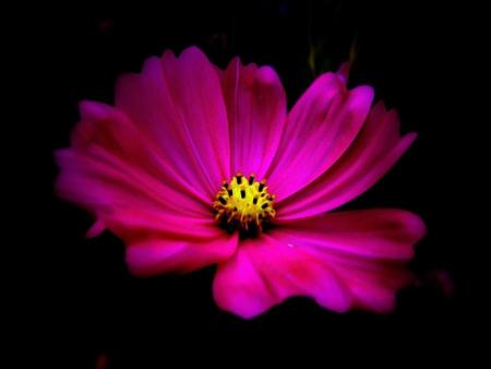 Hot pink flower wallpaper sf wallpaper hot pink flowers nature background wallpapers on desktop nexus mightylinksfo