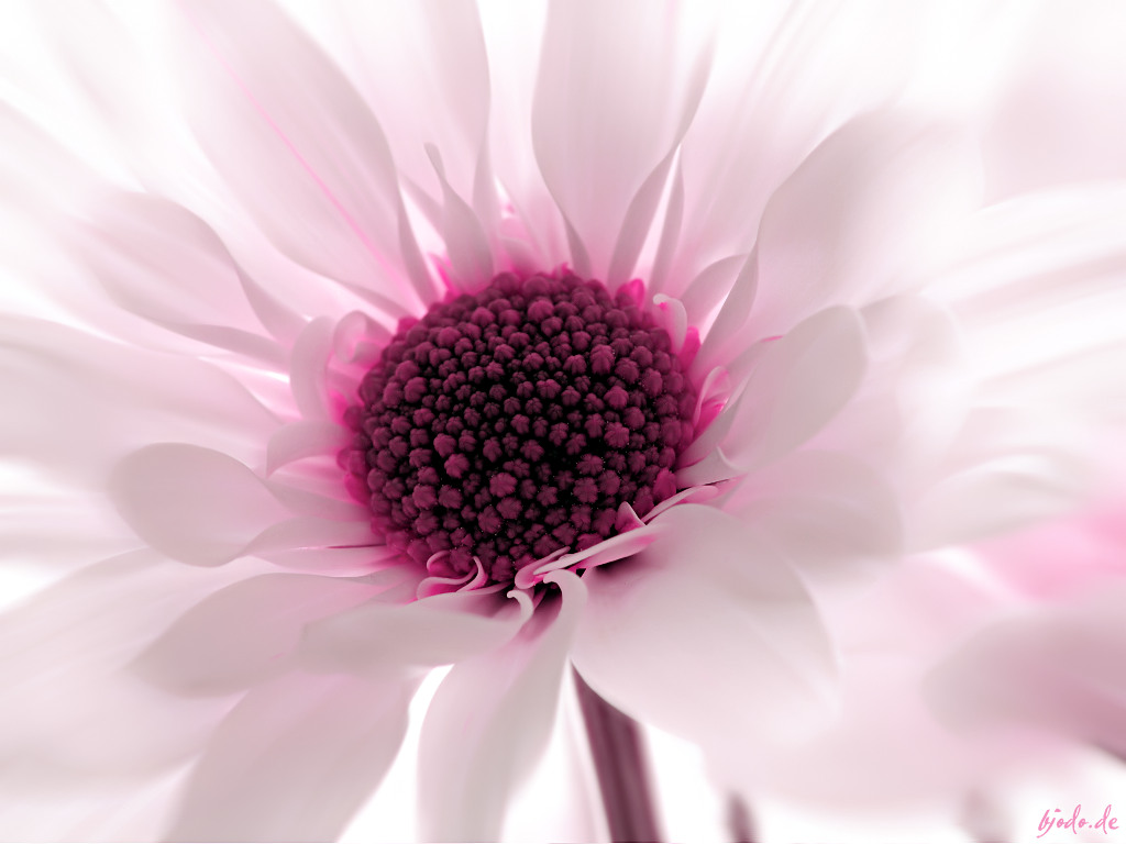 Pink flower wallpaper sf wallpaper 1000 idei despre pink flower wallpaper pe pinterest flora mightylinksfo