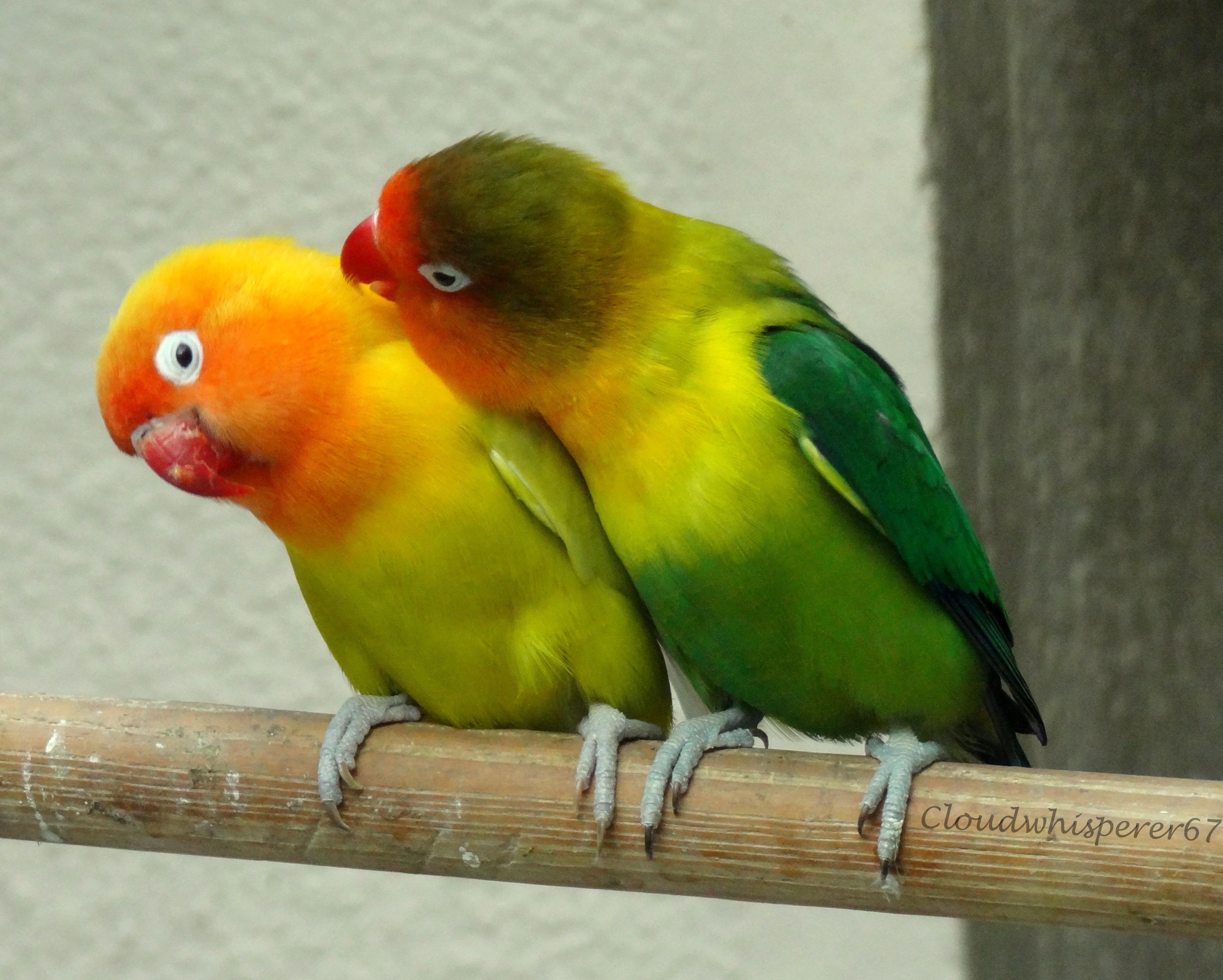 Most Inspiring Wallpaper Love Bird - images-of-love-birds-10  Snapshot_737044.jpg
