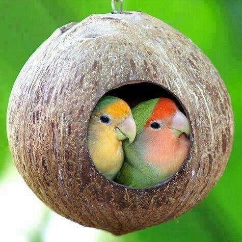 17 Best ideas about Love Birds on Pinterest | Pretty birds