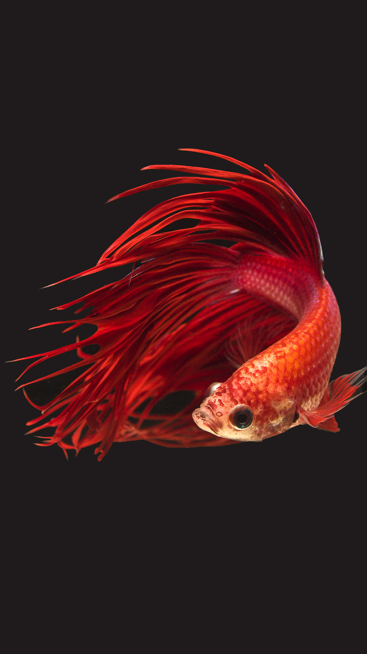 Apple IPhone 6s Wallpaper With Super Red Halfmoon Betta Fish And