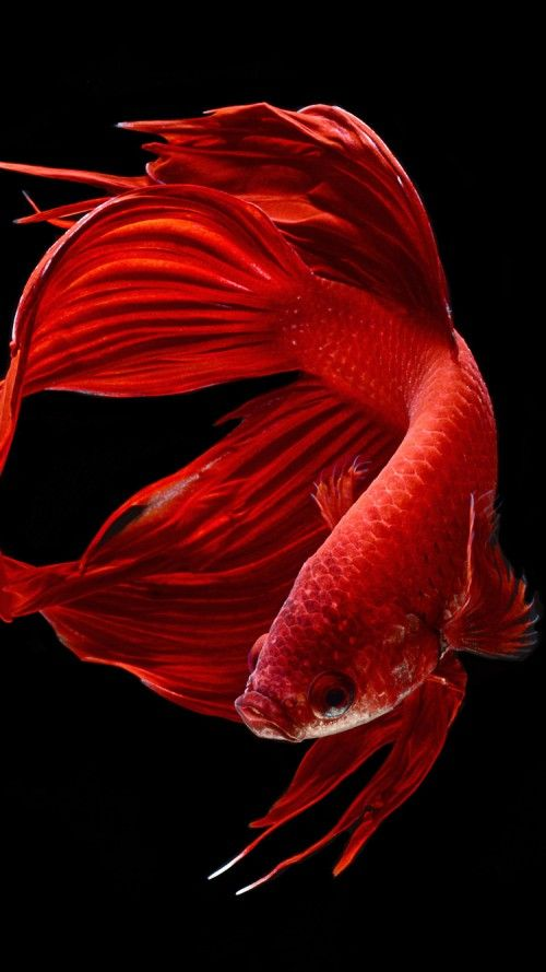 39e2dc7cc66 Apple iPhone 6s Wallpaper with Red Betta Fish in Dark Background