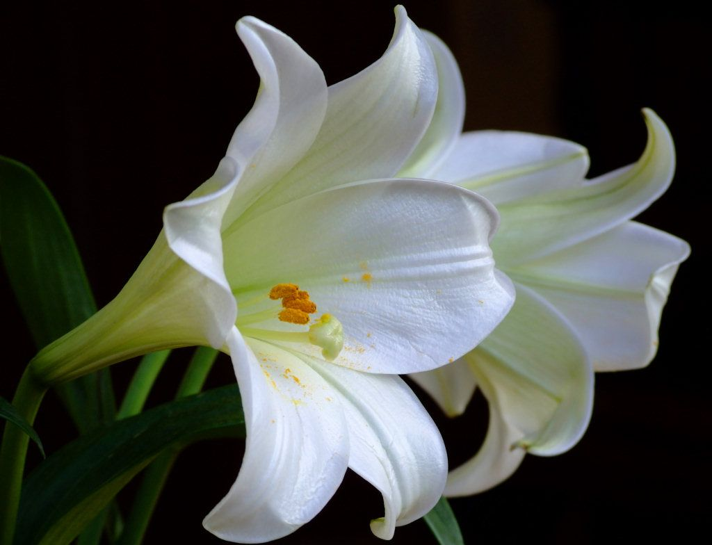Lily flower images sf wallpaper 17 images about lily flower on pinterest flower wallpaper izmirmasajfo