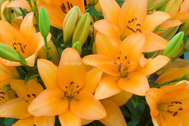 lily flower images