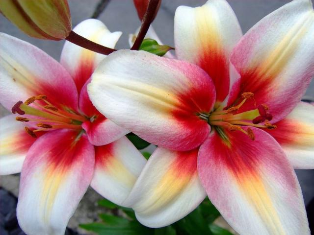 Lily Flower Images Sf Wallpaper