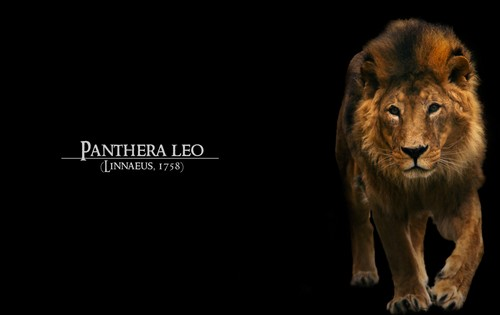 45+ Powerful Lion Wallpapers for Your Desktop