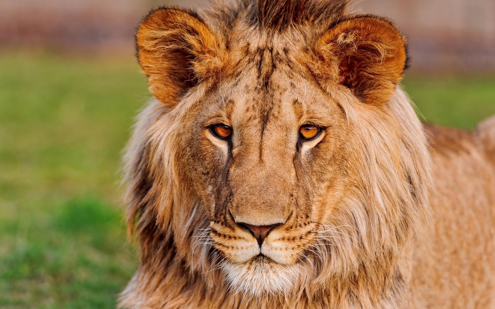 78 Best Ideas About Lion Hd Wallpaper On Pinterest
