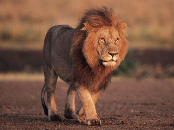 Lion-Endangered animals list-Our endangered animals | KONICA MINOLTA