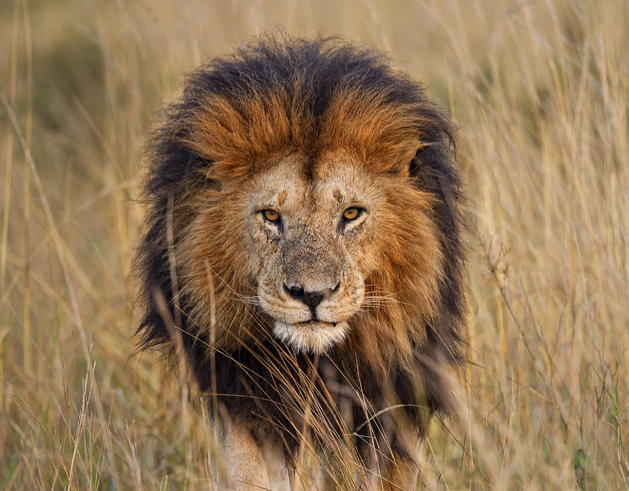 Facts about lions | Pictures | Pics | Express co uk