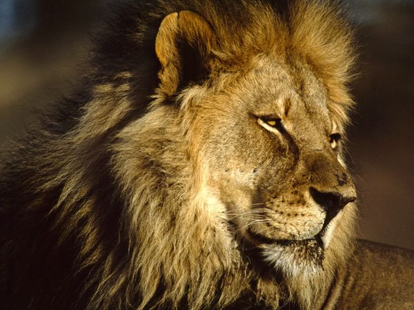 Lion Pictures - African Cat Wallpapers - National Geographic