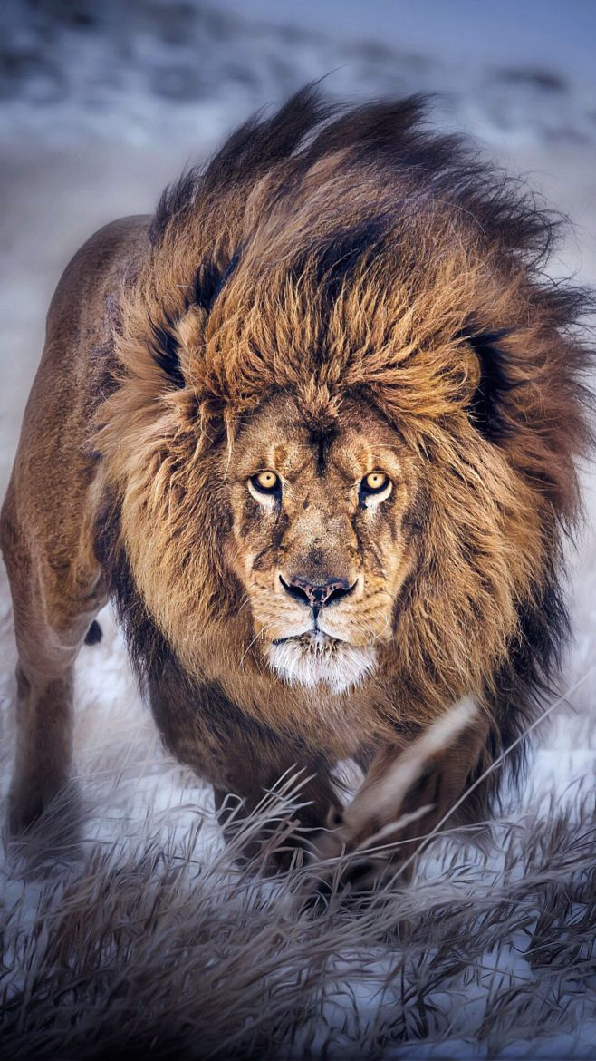 78 Best ideas about Lion on Pinterest | Lion cub, Lions clubs