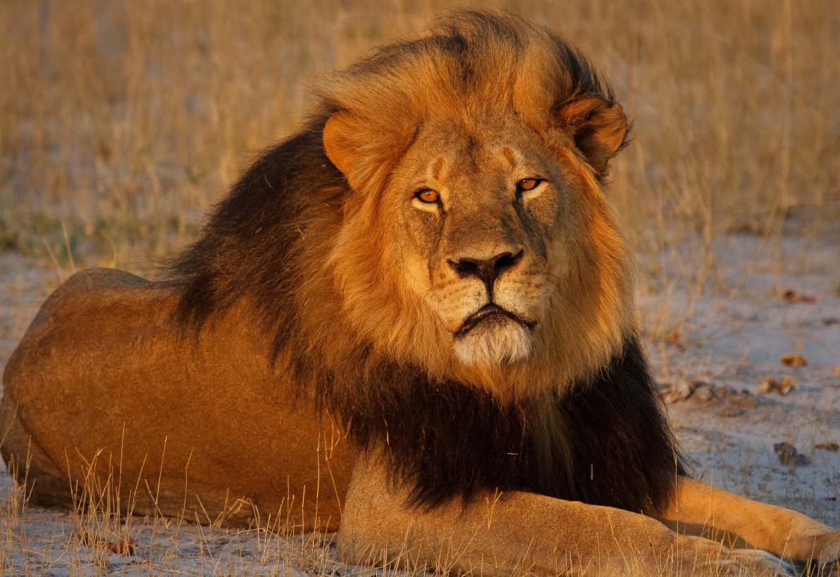 U S  Provides Endangered Species Act Protections for African Lions