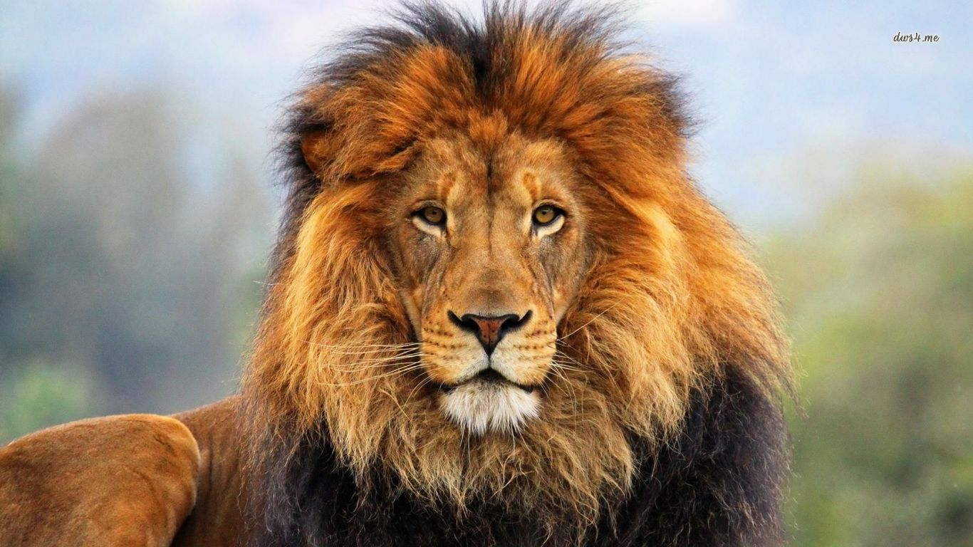 Collection of Lion Picture on HDWallpapers