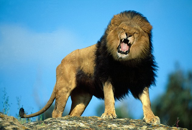 Lion escapes from Karoo National Park in South Africa | Daily Mail