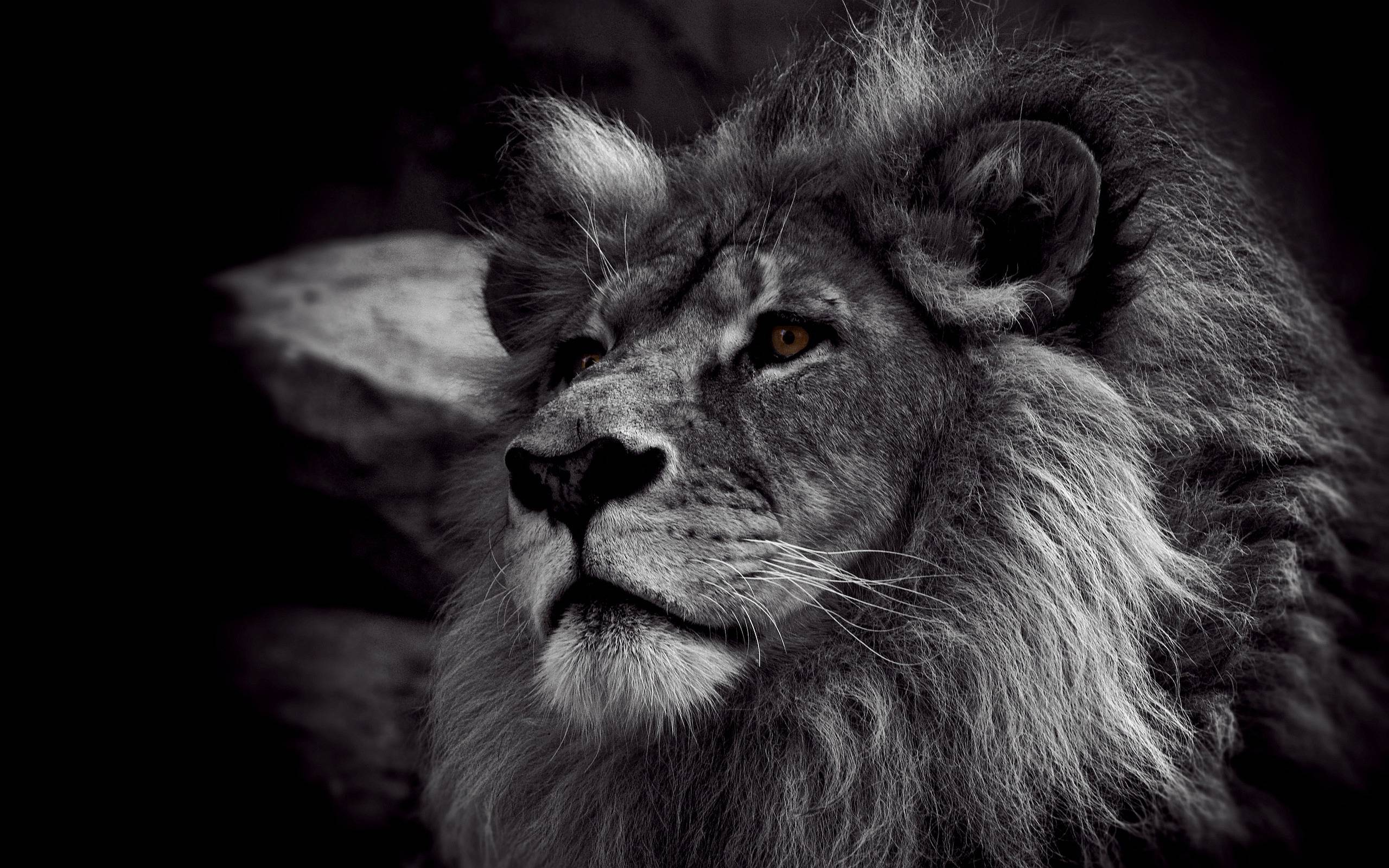 Lion Pictures Wallpapers - Wallpaper Cave