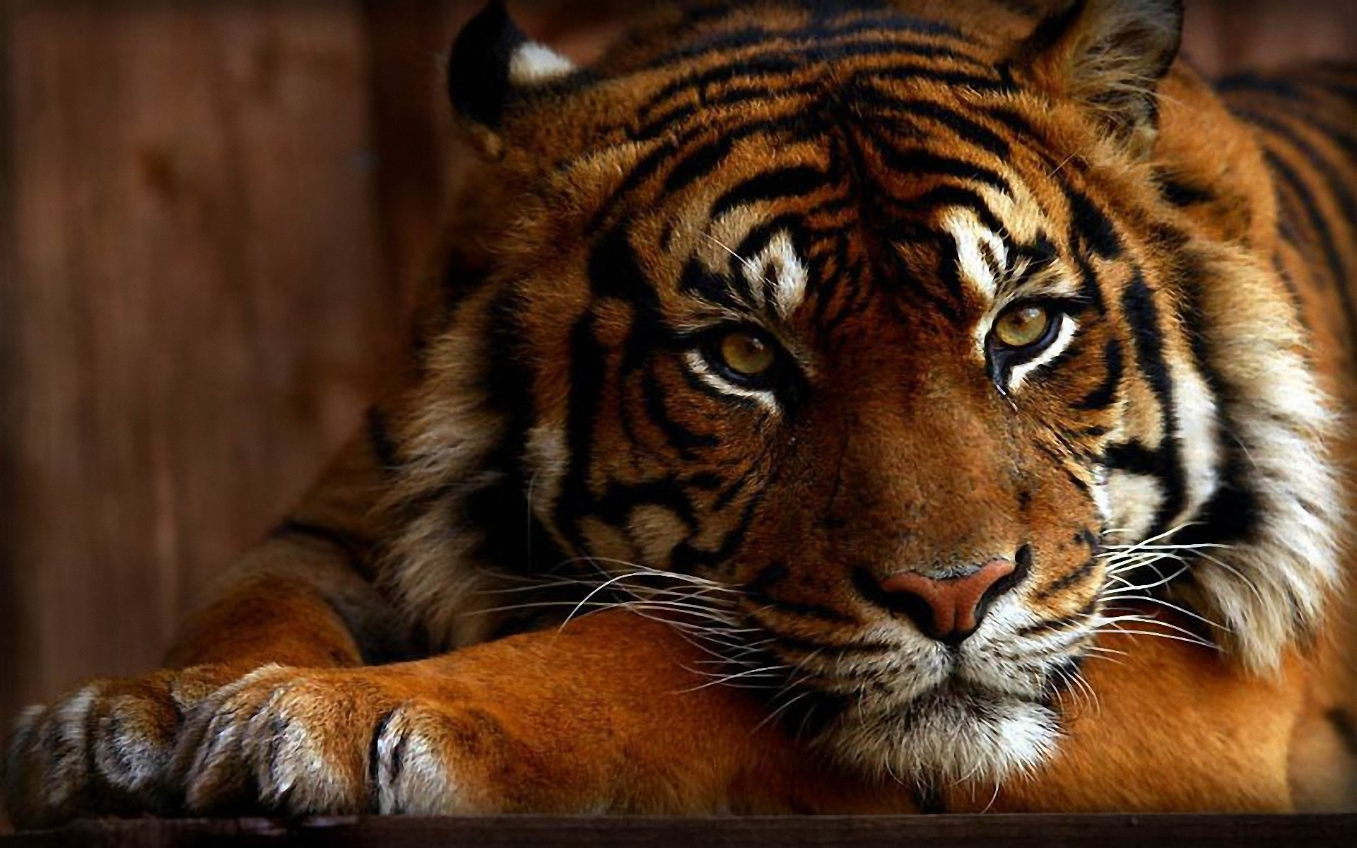 Wallpapers Of Tigers And Lions