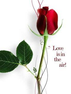 Download Love Rose Wallpaper 240x320 | Wallpoper # | Roses