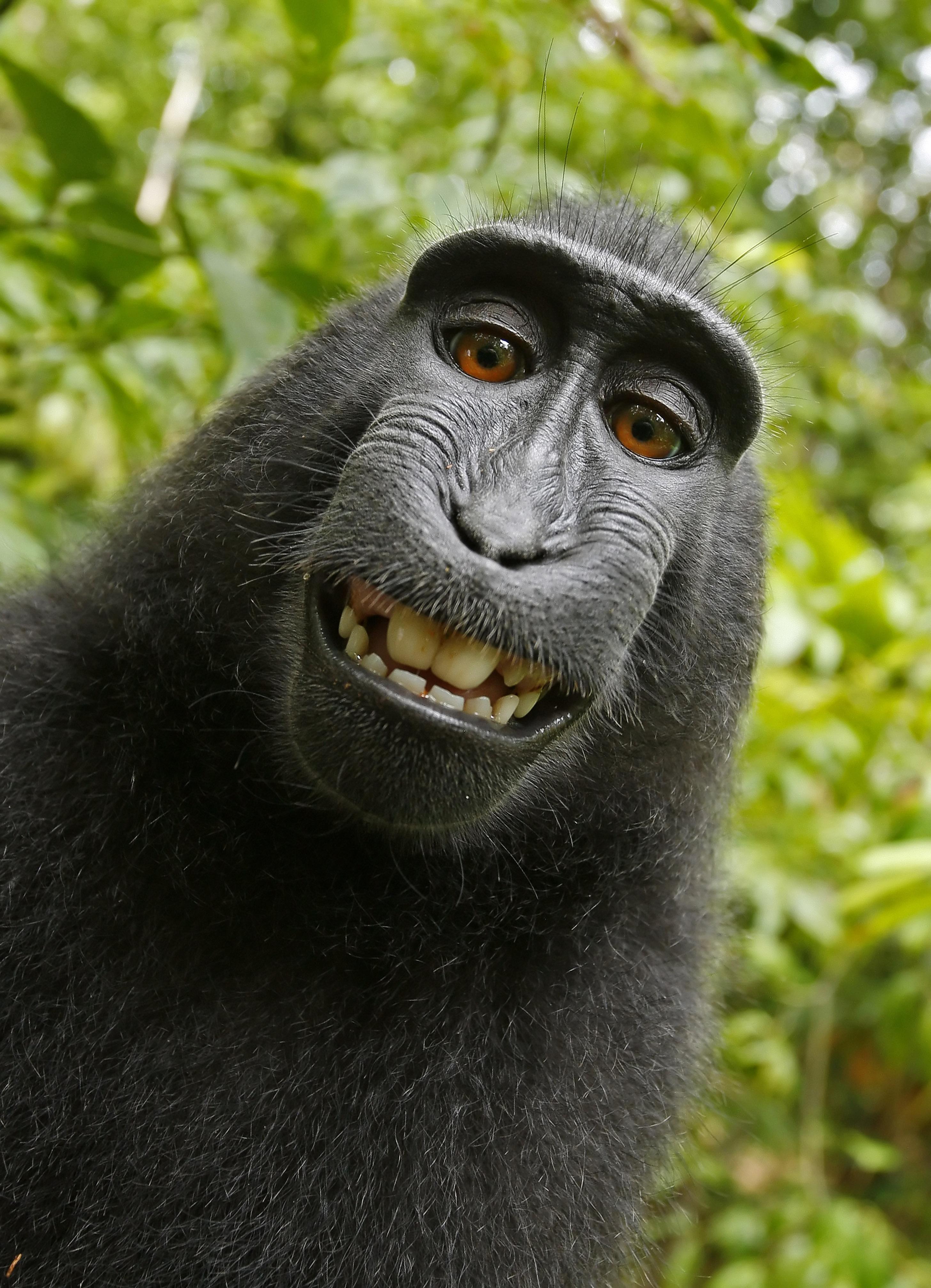 Monkey selfie - Wikipedia