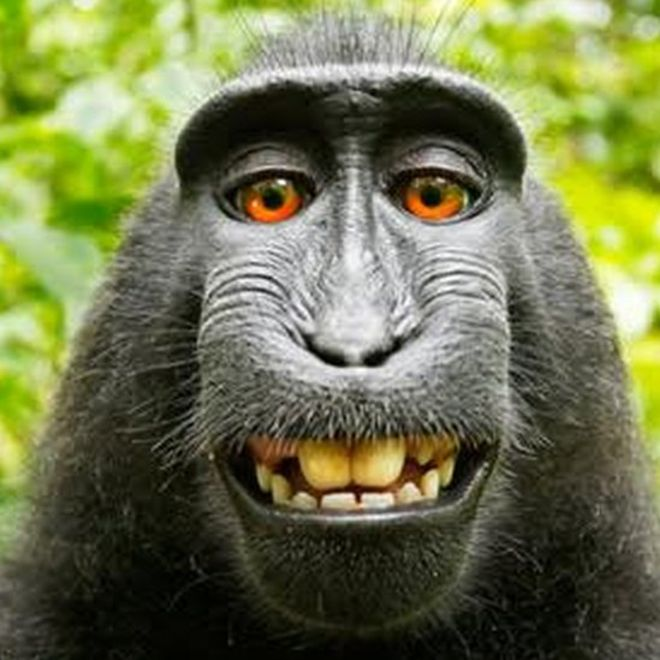 Monkey selfie is mine, UK photographer argues - BBC News