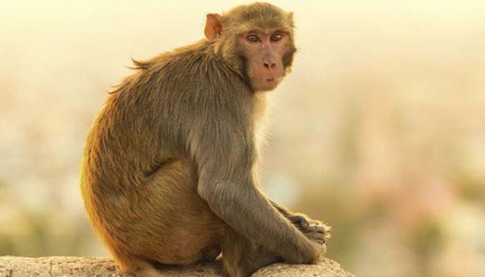 monkey - Latest News on monkey   Read Breaking News on Zee News