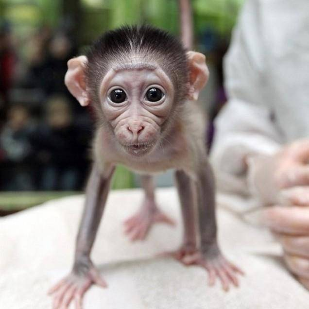 7 Intolerably Cute Baby Monkey Videos