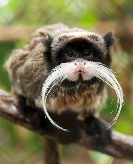 1000+ ideas about Monkeys on Pinterest   Pet monkey, Animals and