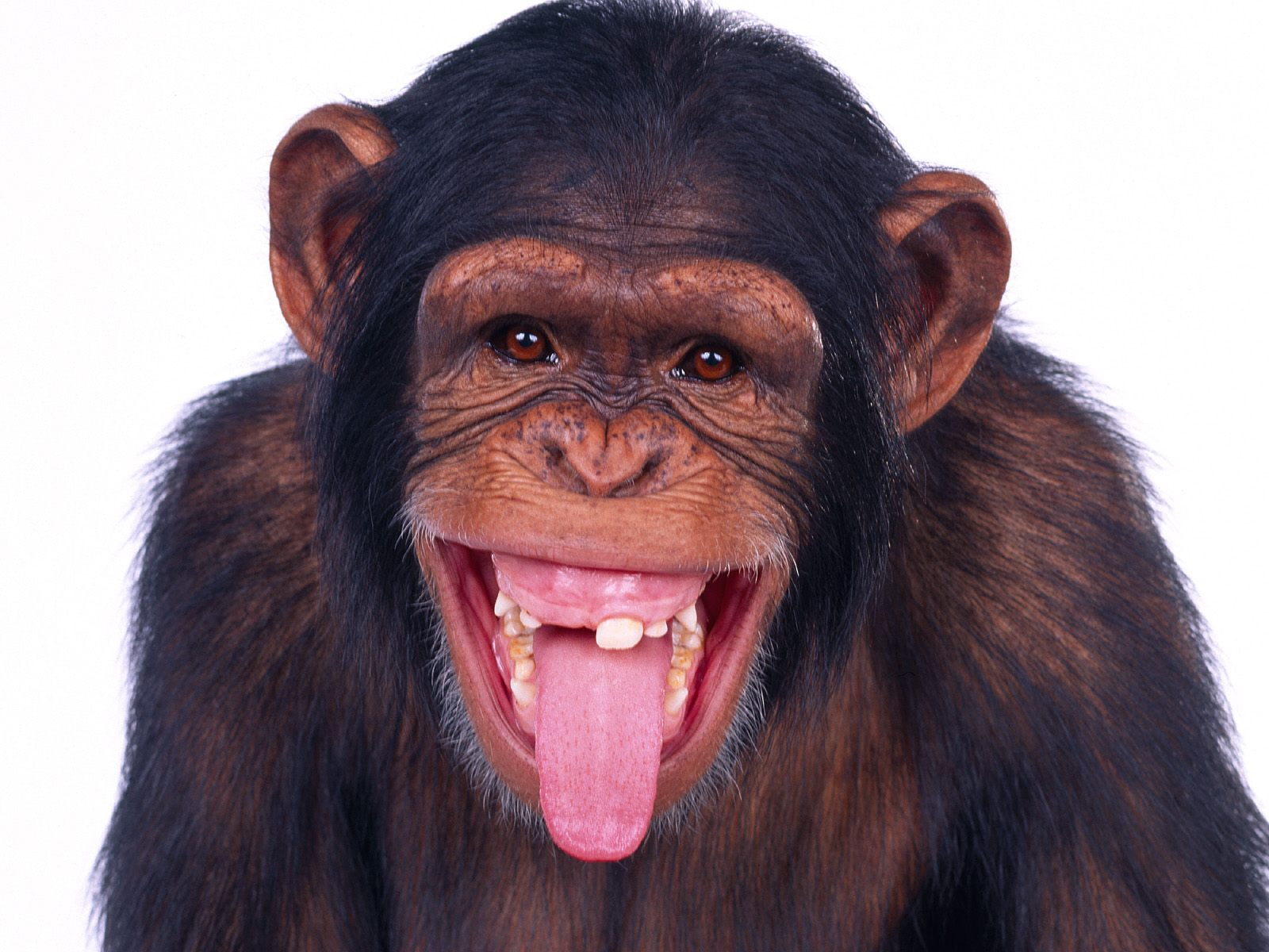 42 Monkey Photos and Pictures, RT41 HD Quality Wallpapers