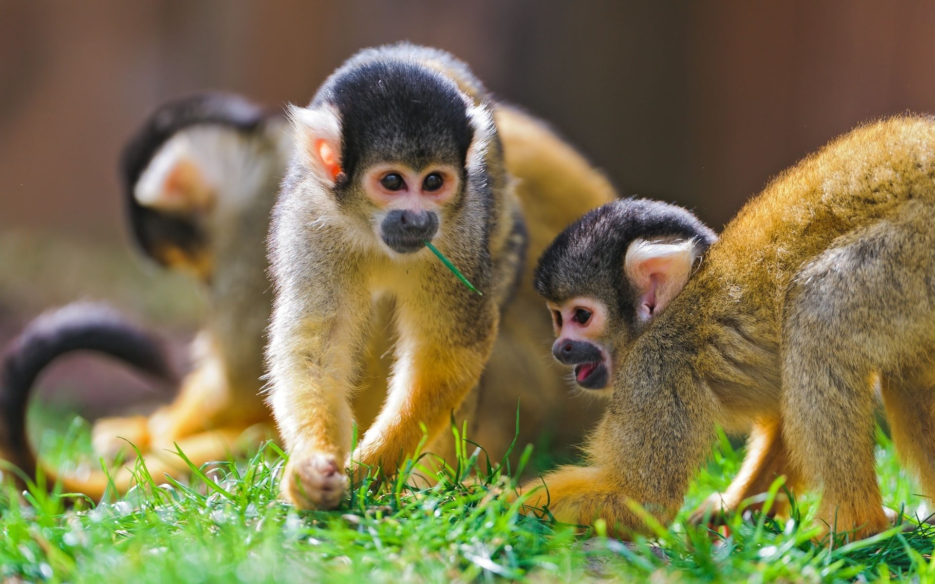 660 Monkeys HD Wallpapers | Backgrounds - Wallpaper Abyss