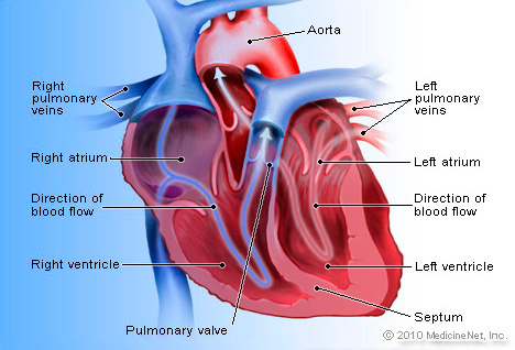 Heart Detail Picture Image on MedicineNet com