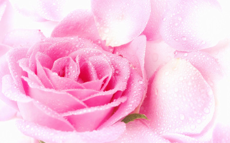 Pink Roses Wallpaper Sf Wallpaper