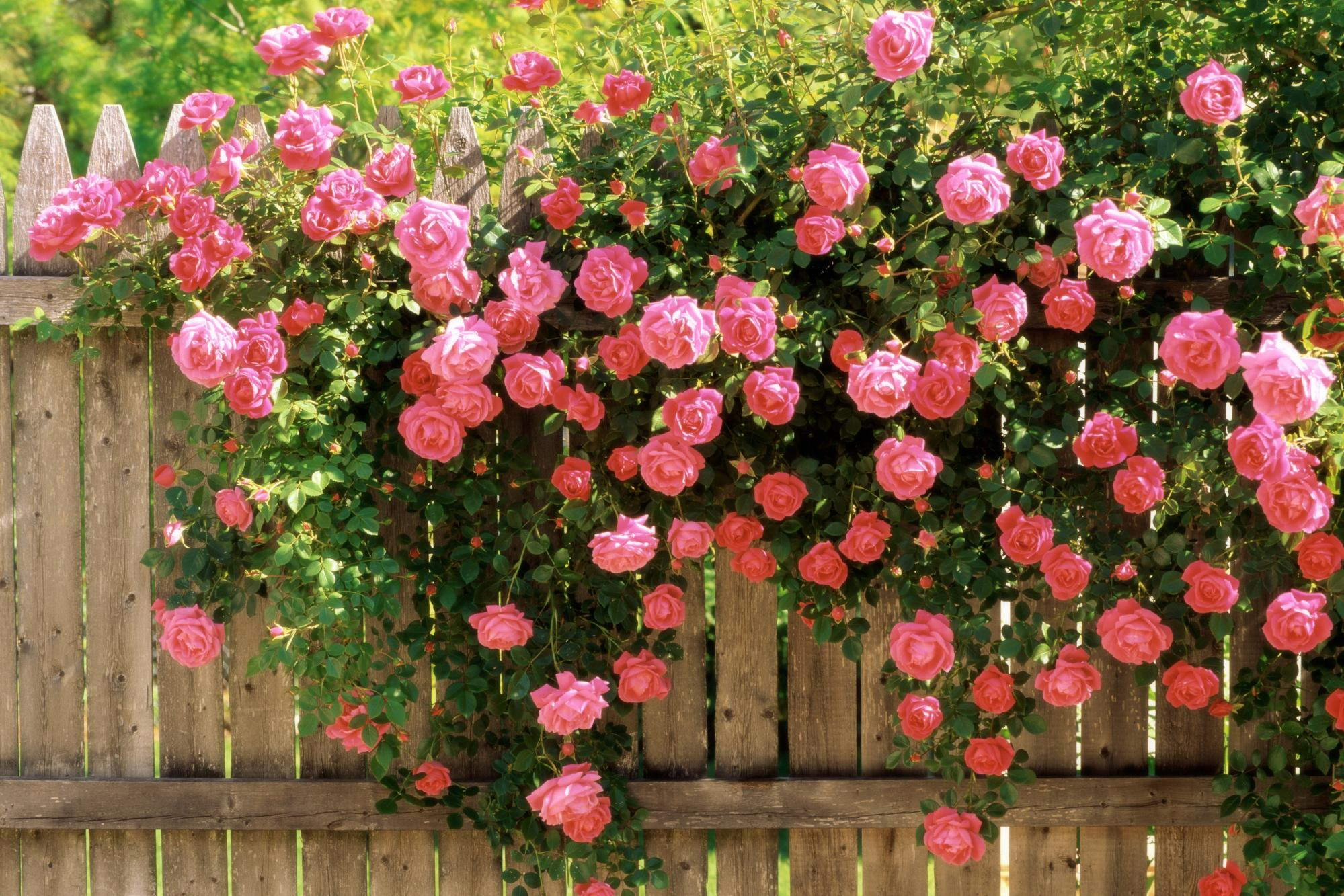 Pink Rose Desktop Wallpaper Sf Wallpaper