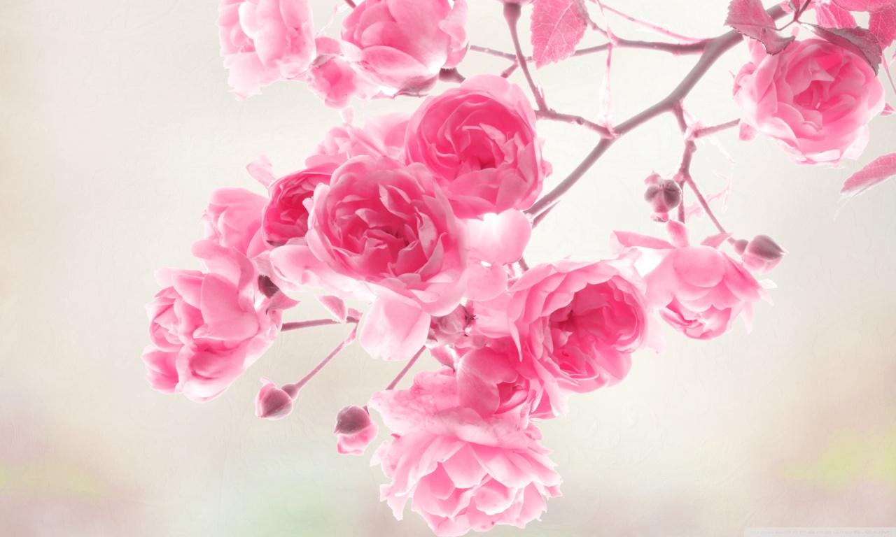 Pink Rose Wallpapers - WallpaperSafari