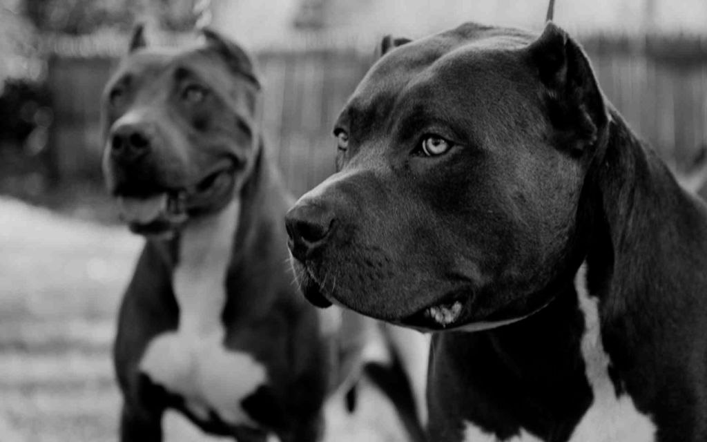 Collection of Blue Nose Pitbull Wallpaper on HDWallpapers