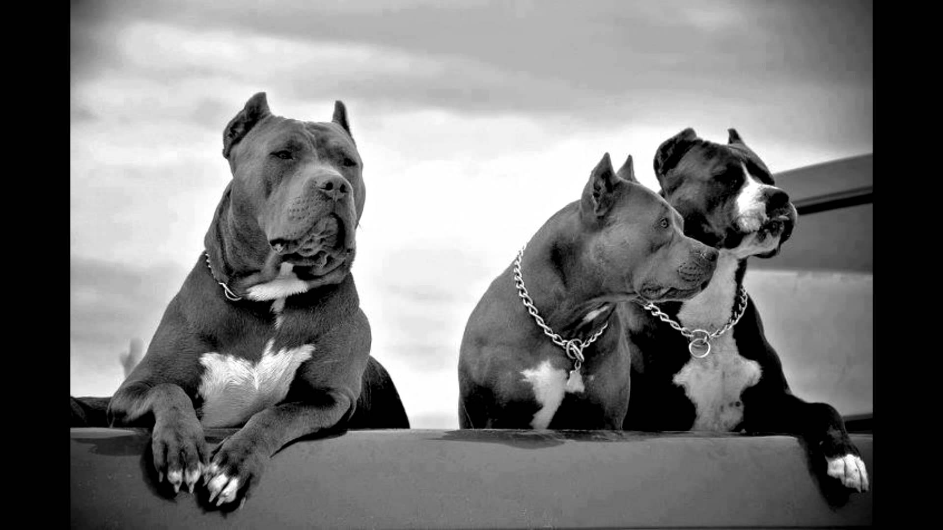 Pitbull Wallpaper Hd