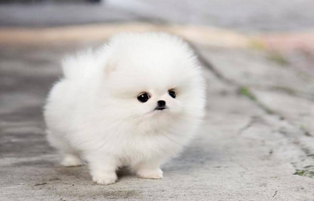 Teacup Pomeranian Puppy Maggie - Dogs & Animals Background