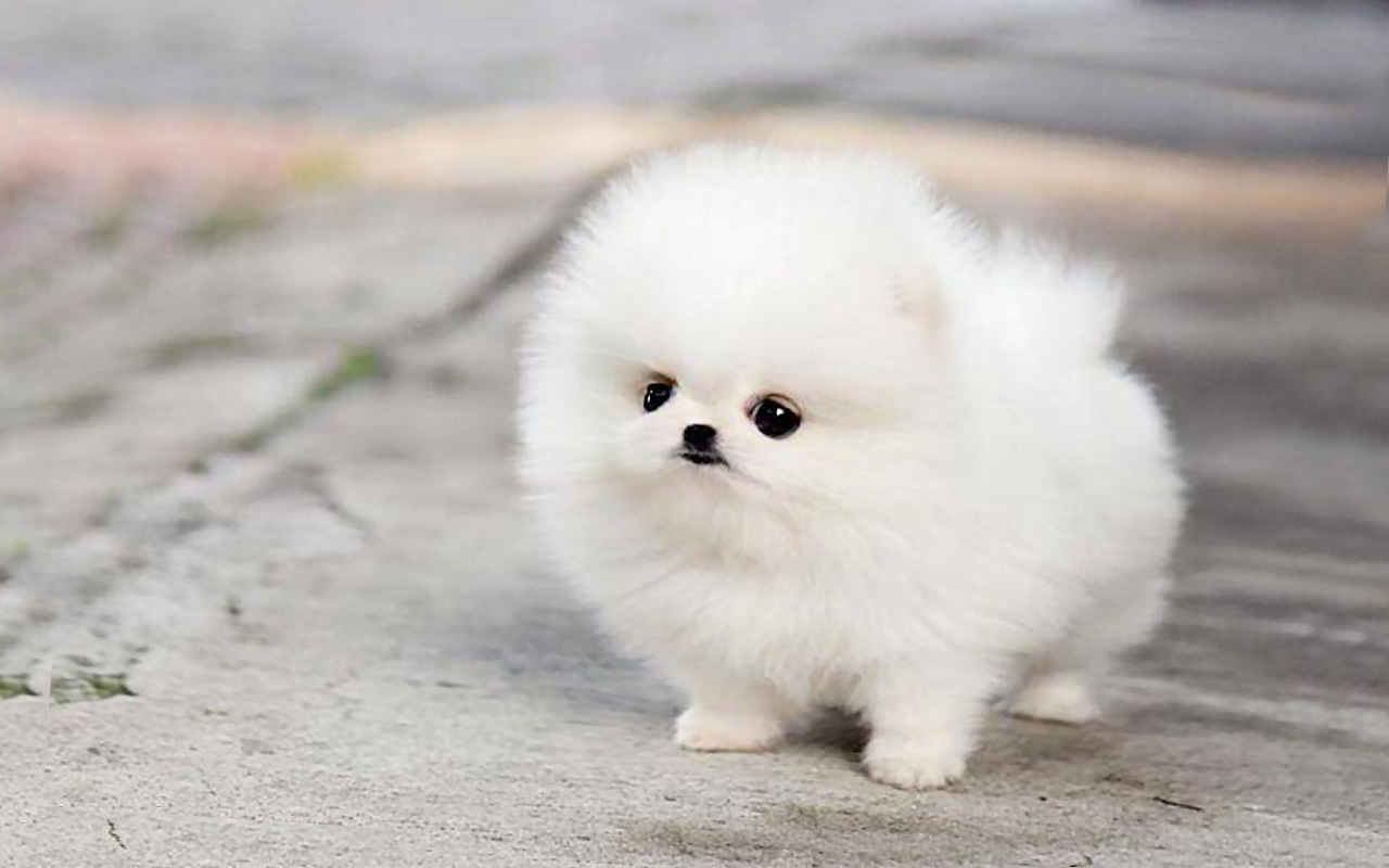 Pomeranian puppy wallpaper