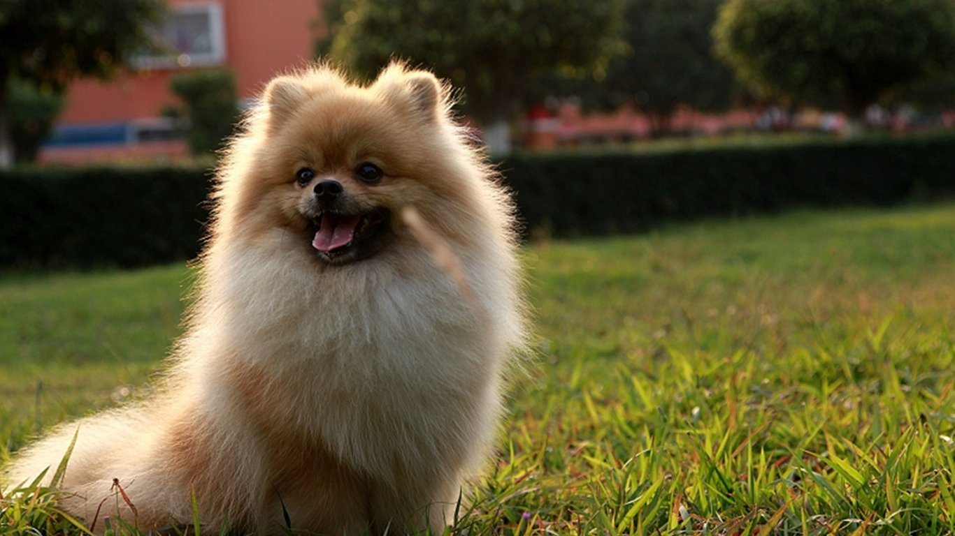 Hd Pomeranian Puppies Wallpapers Com Wallpaper On Pictures Of High