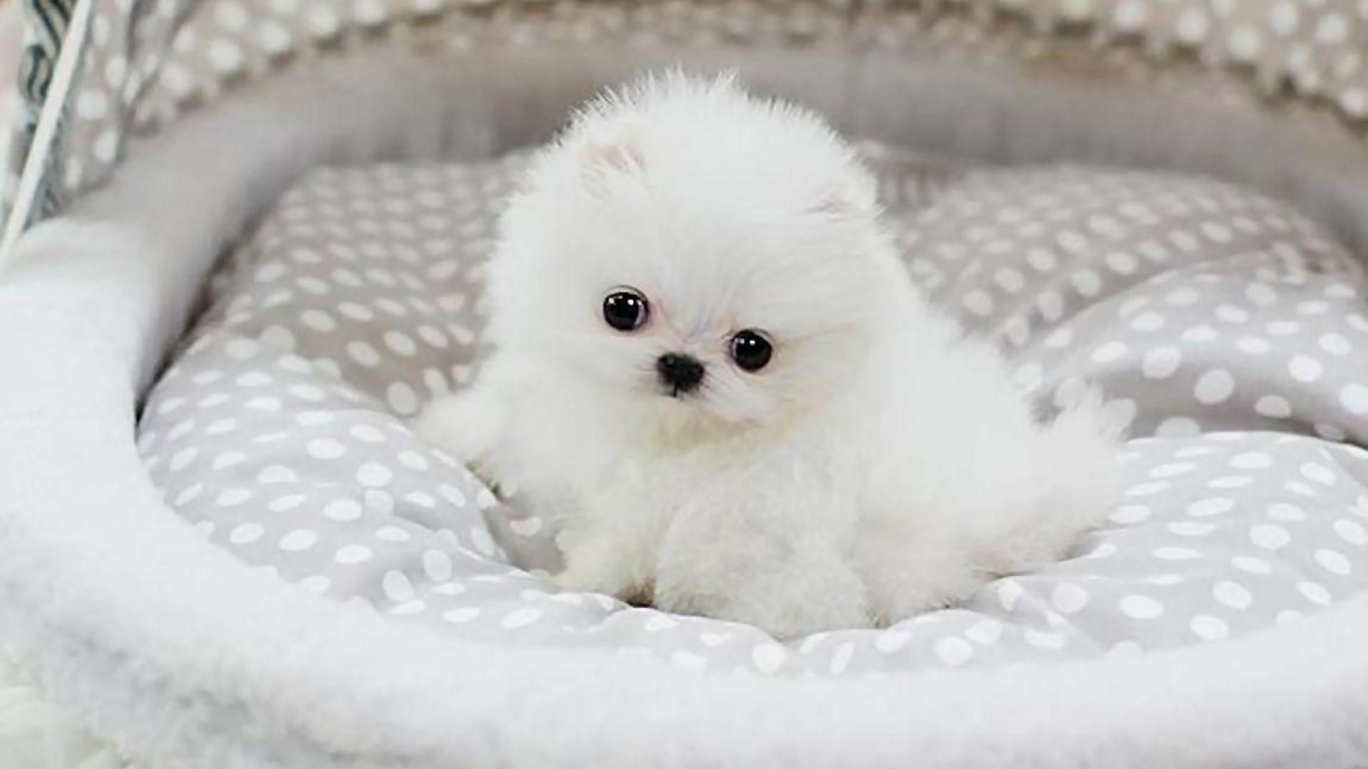Pomeranian Puppy Wallpapers Group (67+)