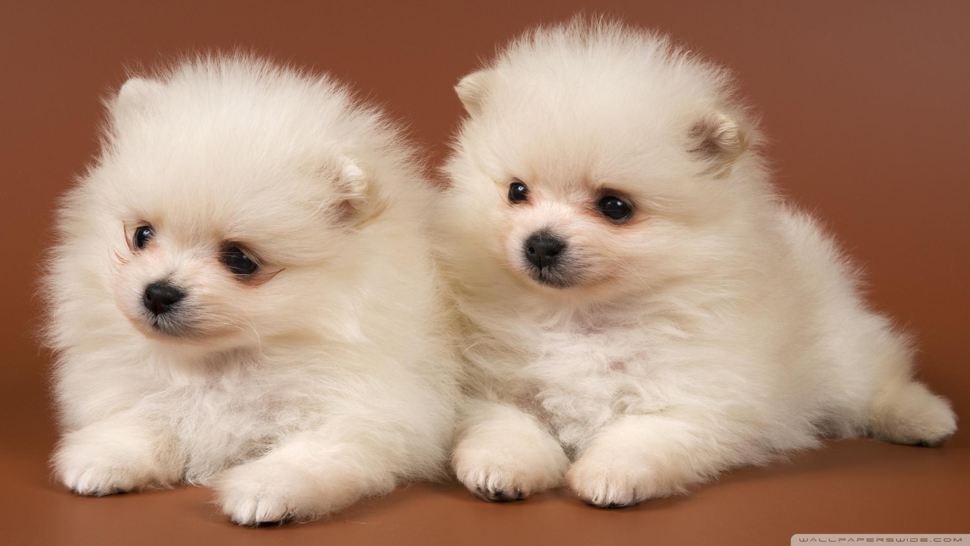 Pomeranian Puppies HD desktop wallpaper : High Definition : Mobile