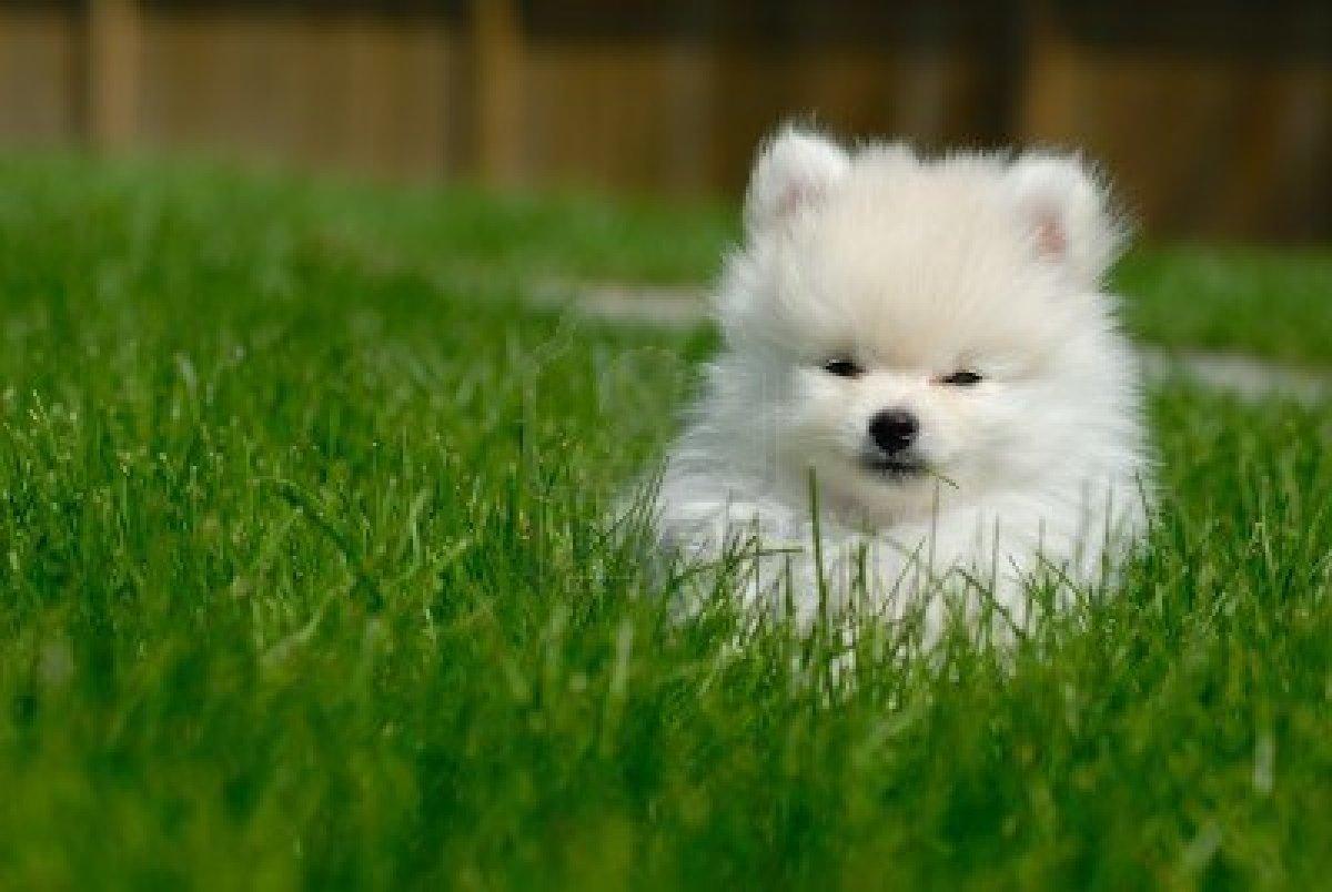 Pomeranian Puppy Wallpaper Sf Wallpaper