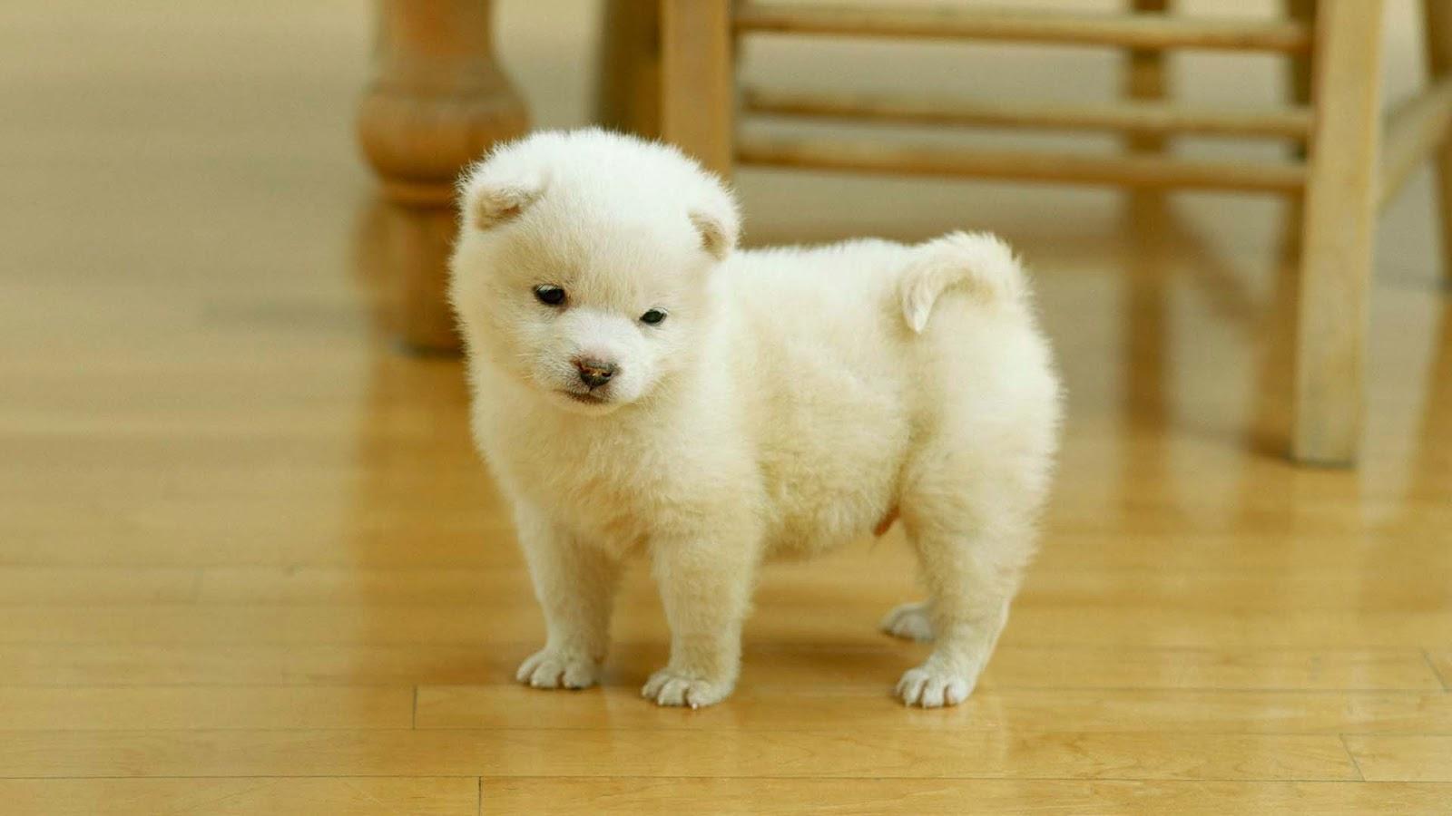 Cute Pomeranian Puppies Wallpaper image   Free HD Wallpaper