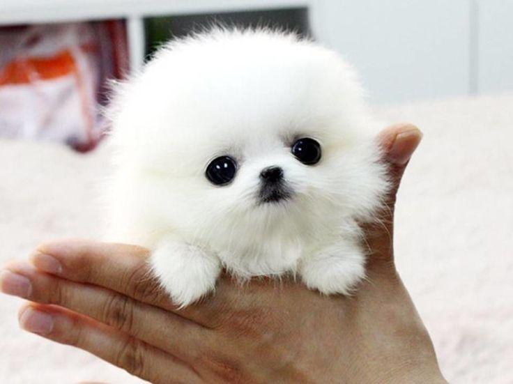 10 best ideas about White Pomeranian Puppies on Pinterest