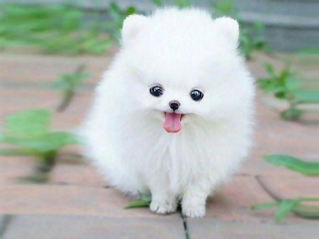Pomeranian Puppy Wallpapers Group 67