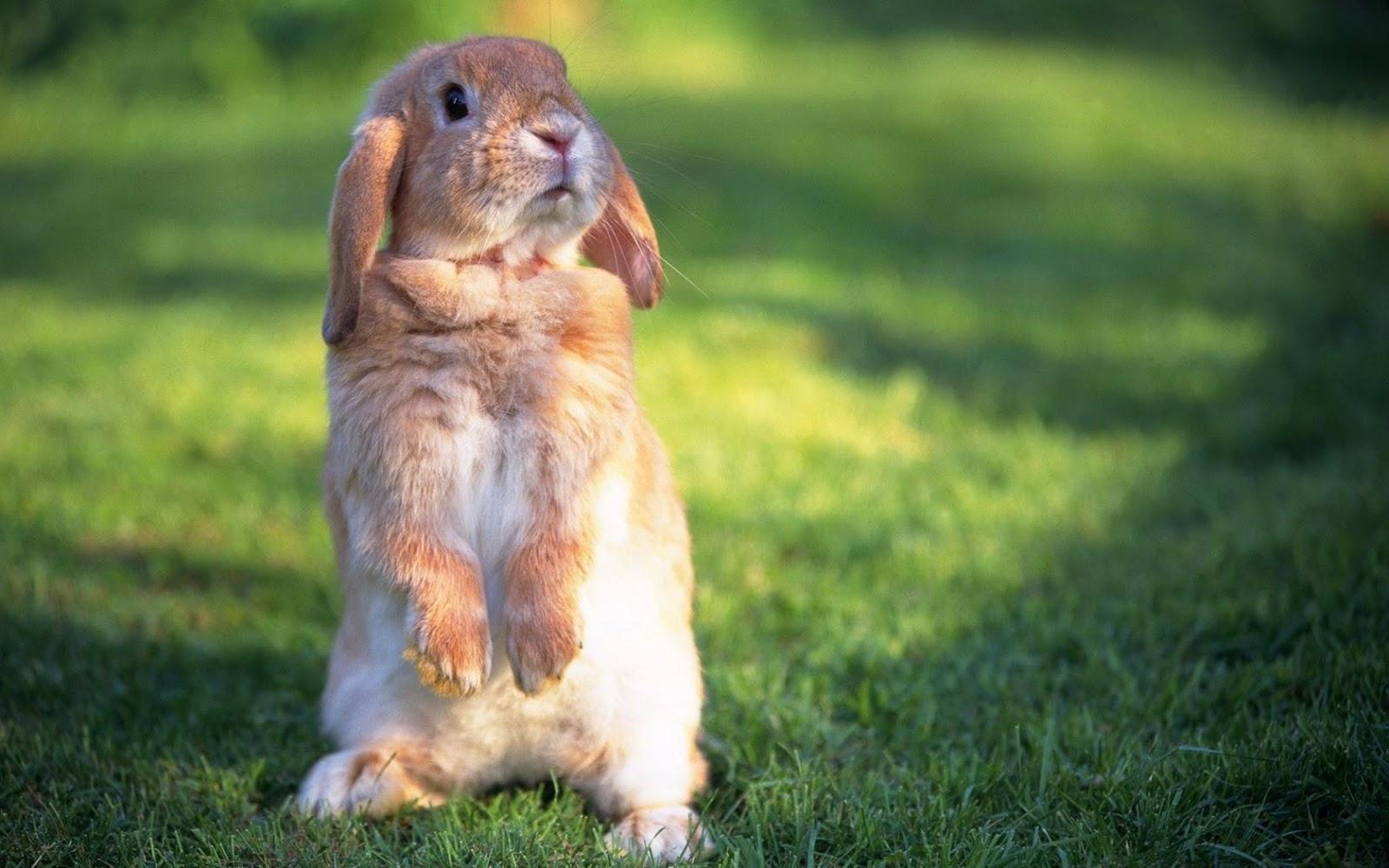 Rabbit Wallpaper HD #6863414
