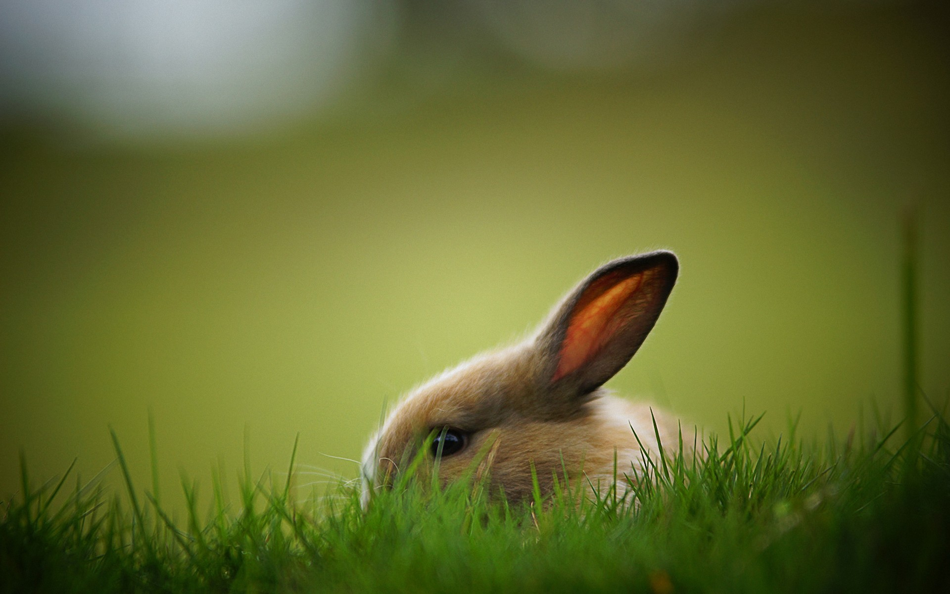 Rabbit Wallpapers HD Pictures – One HD Wallpaper Pictures