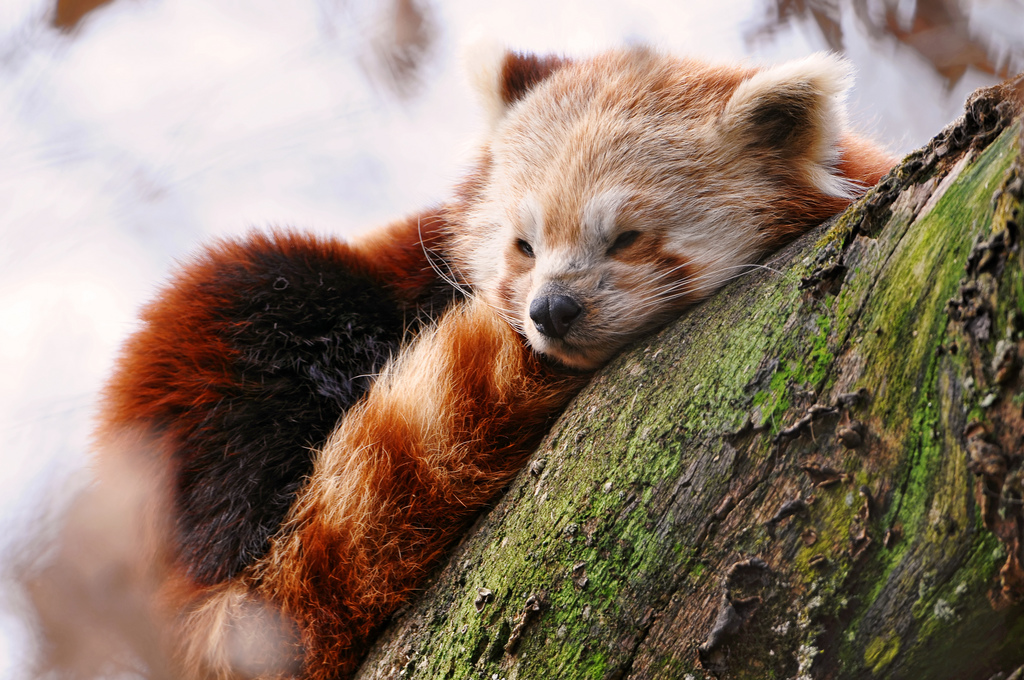 About the Red Panda