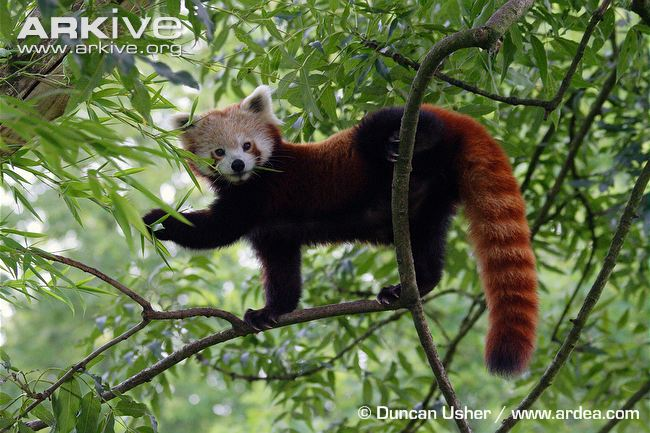 Red panda videos, photos and facts - Ailurus fulgens | ARKive