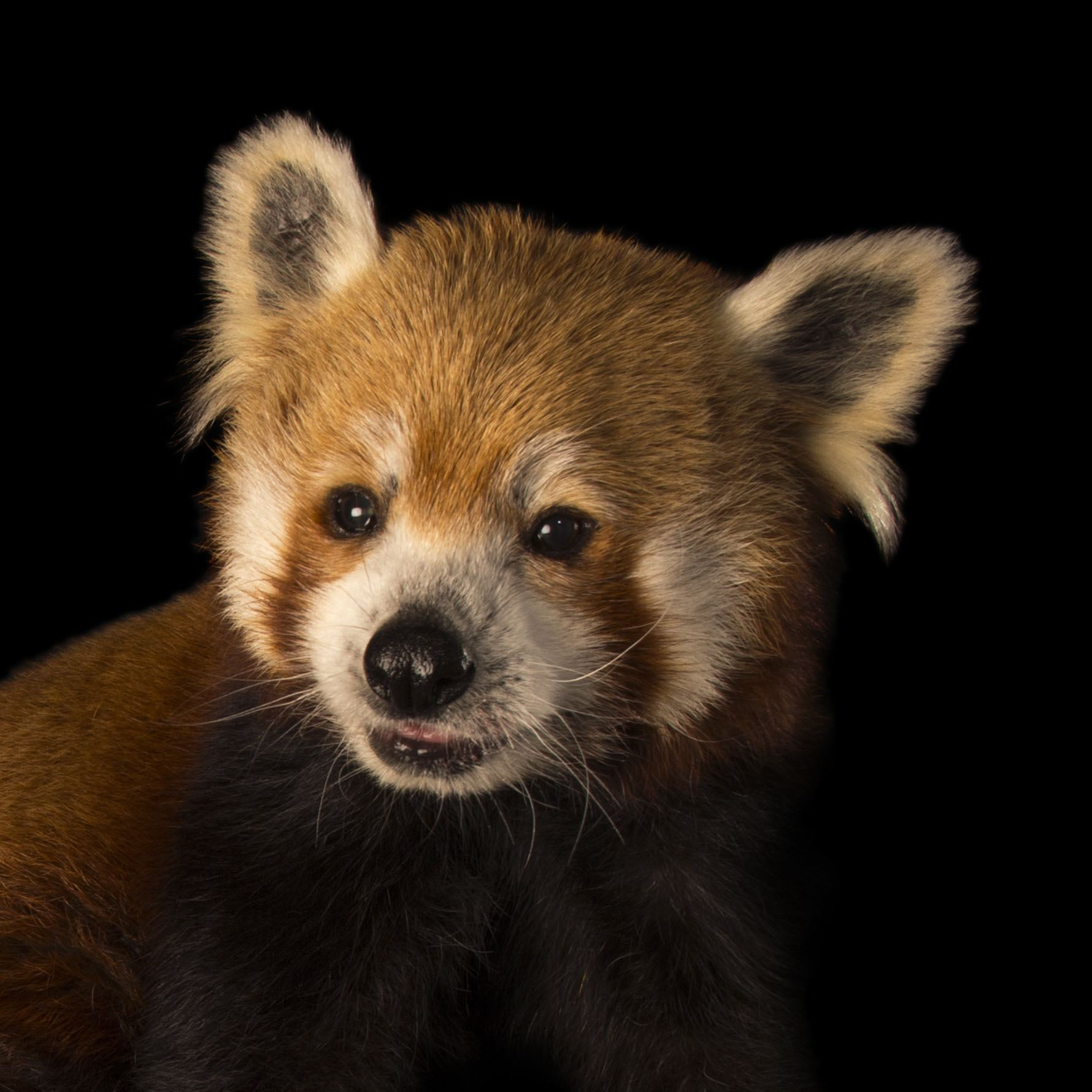 Red Panda | National Geographic