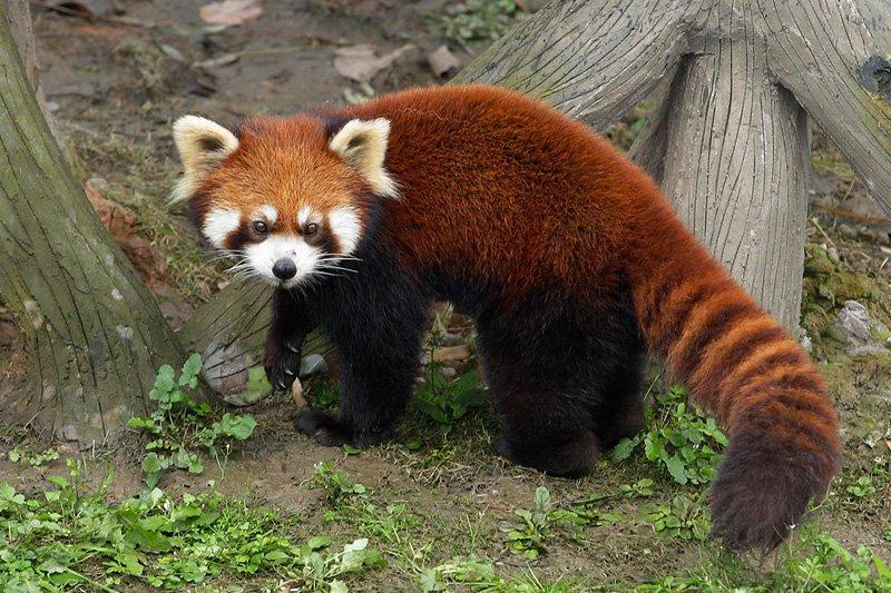 River Safari - Giant Panda Forest